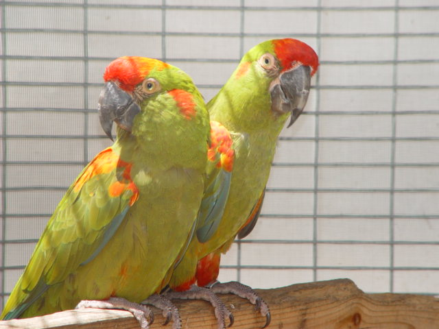 free downloading pics of parrot wiki